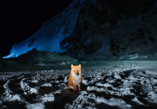 Red Fox at Night small Events