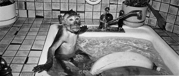 Robin Schwartz' portrait of crab-eating macaque with a banana taking a bath in a sink at Alice Austen House Museum.